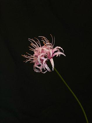 Nerine licht roze