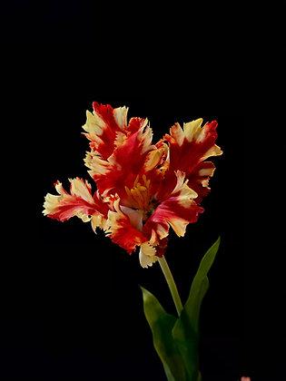 Franse tulp rood geel
