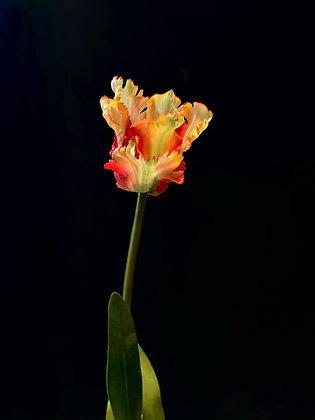Tulp rood geel