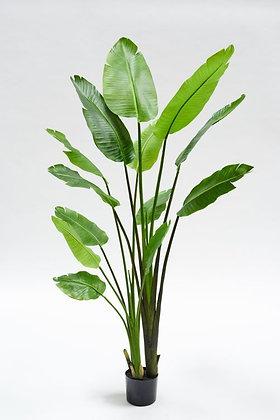 STRELIZIA GROEN 183 cm