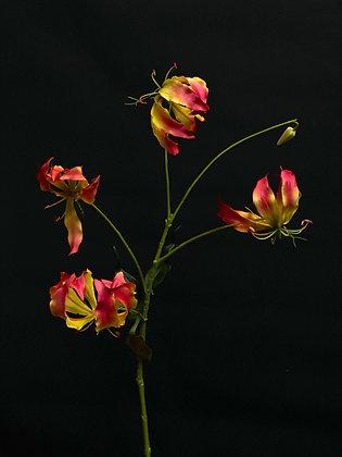 Gloriosa geel roze