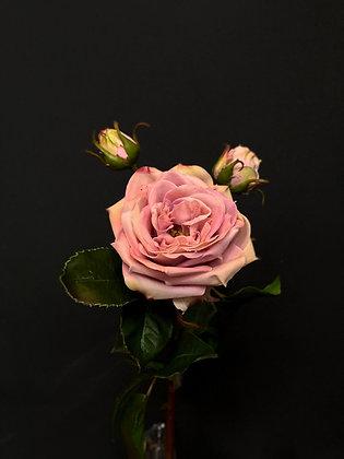 Roos exclusief oud roze