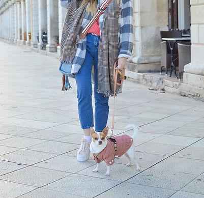 chihuahua, dog sweater, dog walk, dog harness, dog treats
