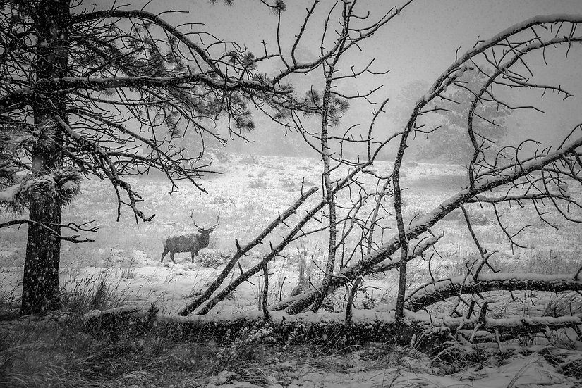 Elk in First Snow B&W