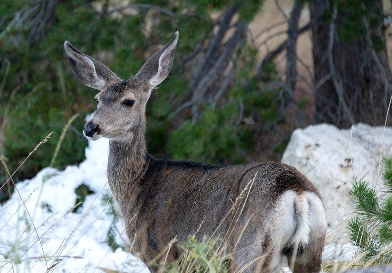 Jenny Lake White Tail Deer