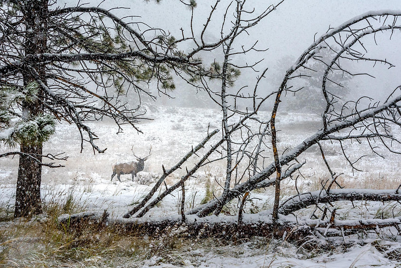 Elk in First Snow