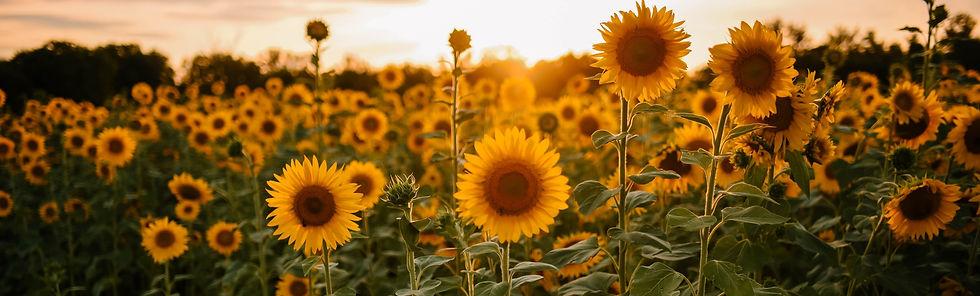 sunflowers 3.jpg