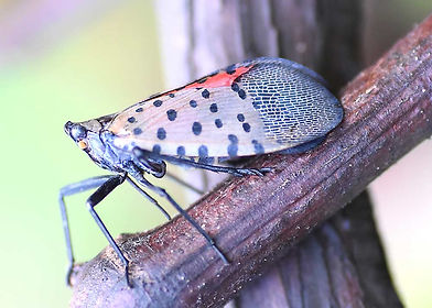 Spotted-Lanternfly-Spray-Service-NJ.jpg