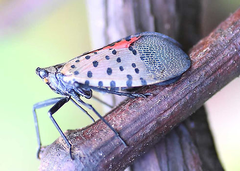 Spotted-Lanternfly-Spray-Service-NJ.jpg
