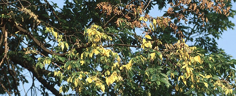Dutch-Elm-Tree-Disease-Treatment-NJ.jpg