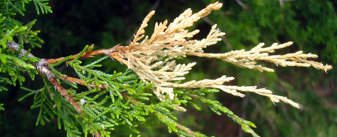 Juniper-Tip-Blight-Tree-Disease-Treatmen