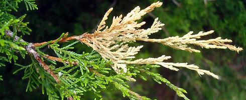 Juniper-Tip-Blight-Tree-Disease-Treatmen