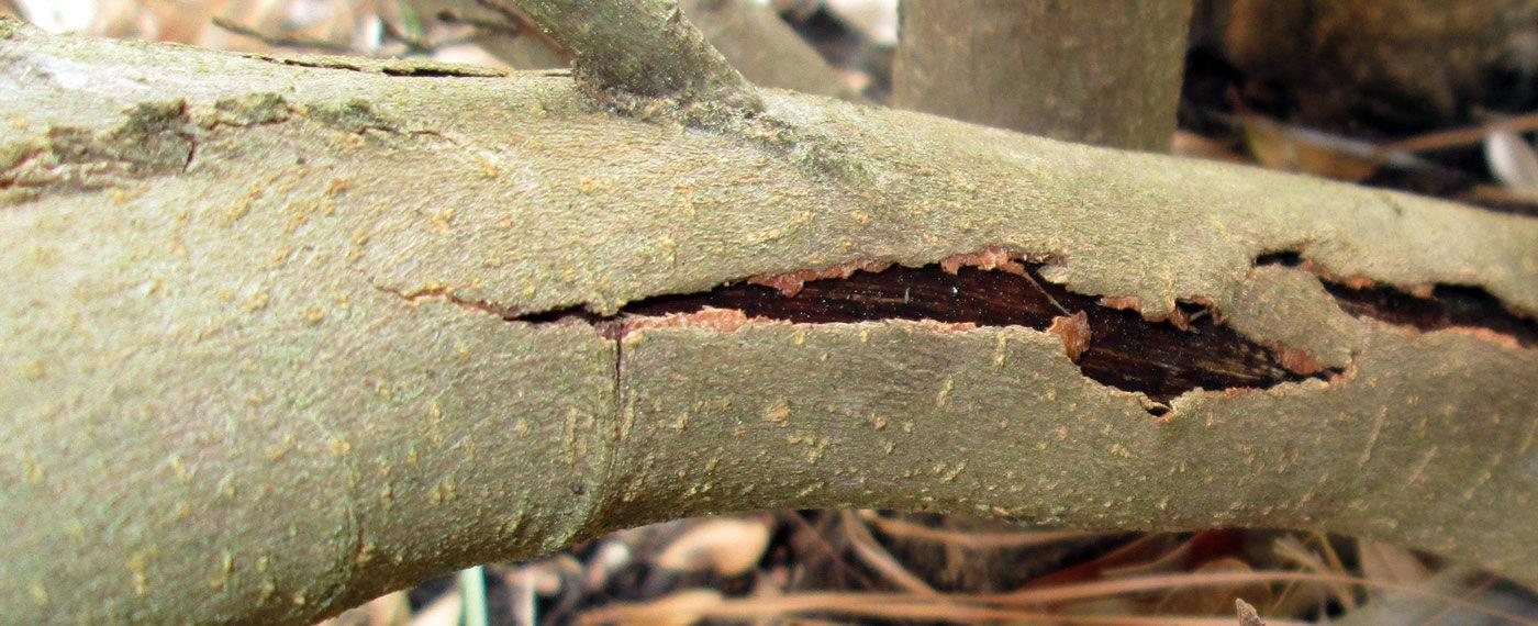 Bark-Splitting-Tree-Disease-Treatment-NJ