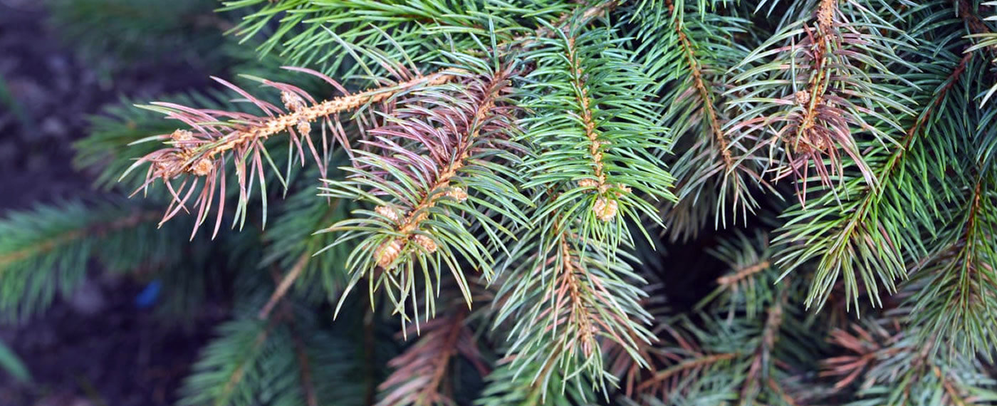 Spruce-Canka-Tree-Disease-Treatment-NJ.j