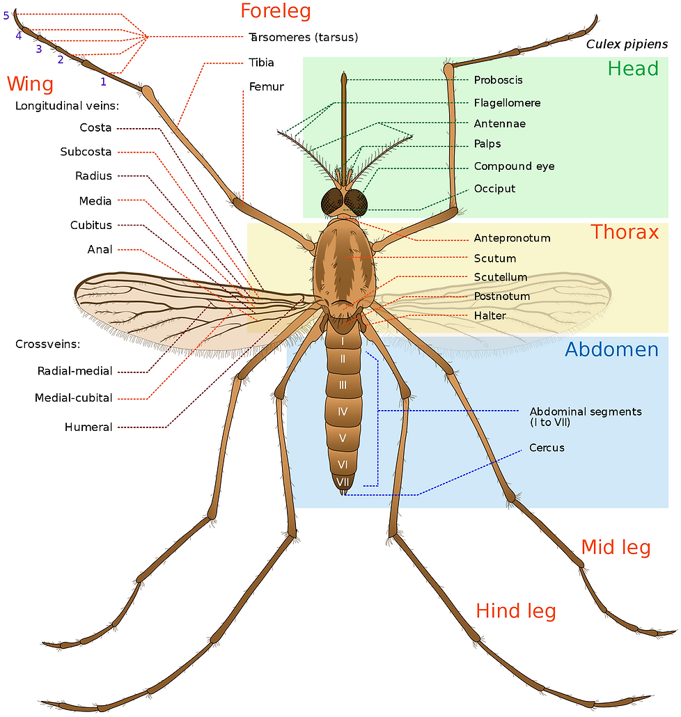 Mosquito-Anatomy-Pictogram.png