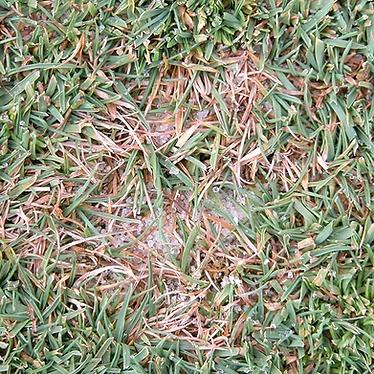 Dollar-Spot-Lawn-Disease-Treatment--NJ.p