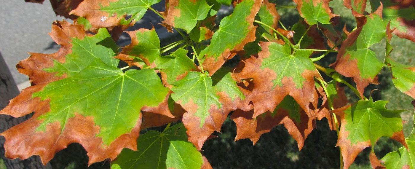 Leaf-Scorch-Tree-Disease-Treatment-NJ.jp