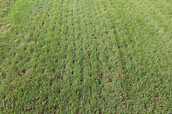 Your lawn after aeration