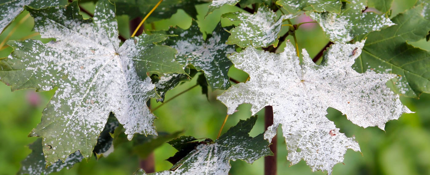 Powdery-Mildew-Tree-Disease-Treatment-NJ
