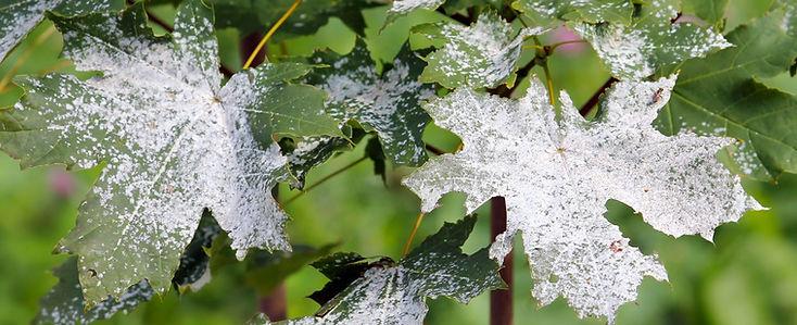 Powdery-Mildew-Tree-Disease-Treatment-NJ