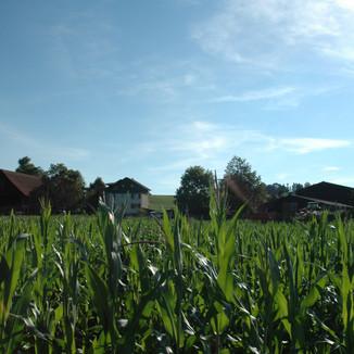 eigener Mais