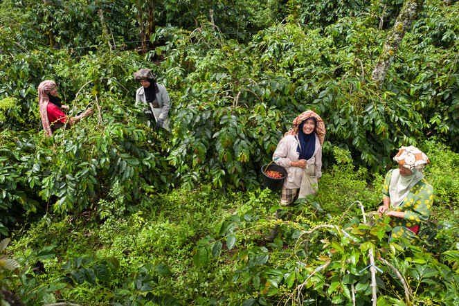 Coffee pickers in Gayo, Sumatra