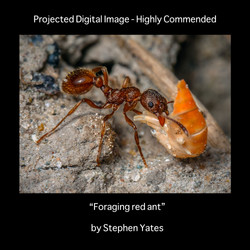 HC foraging red ant