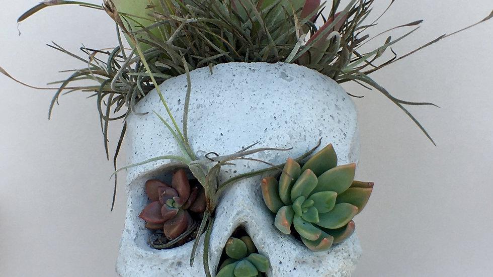 Kalanchoe Concrete Skull Planter