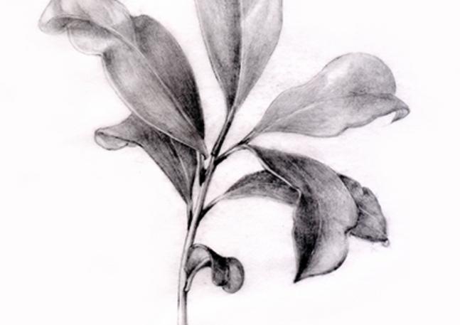 Study of Leaves, 2013, Graphite Pencil on Vellum, 11x13