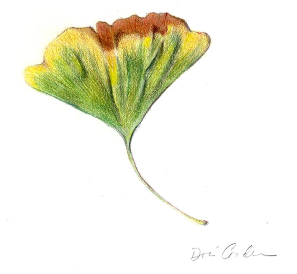 Gingko Leaf, 2017, Colored Pencils, 5x7