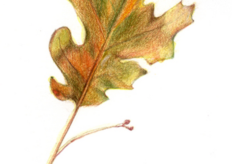 Oak Leaf, 2017, Colored Pencils, 5x7