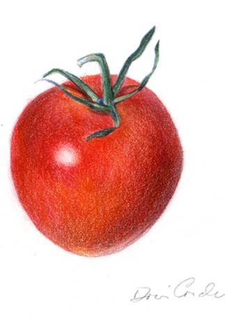 Tomato, 2017, Colored Pencils, 5x7