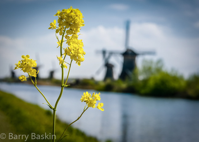 Flower And Windmills