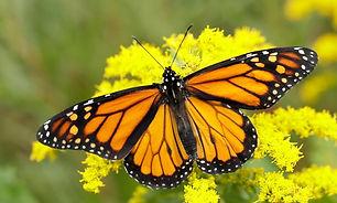 30730637487-monarch-danaus-plexippus.jpg
