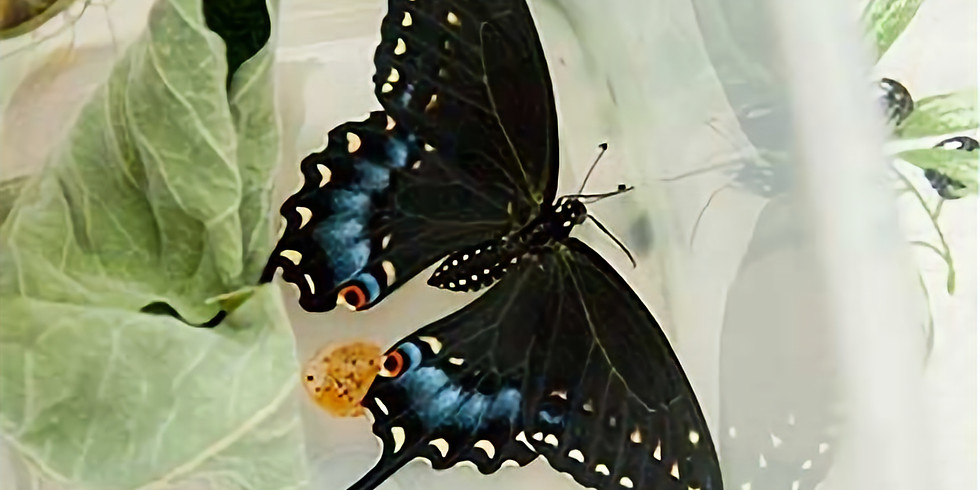 Butterflies and more with Chris Rickard  (1)