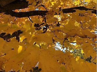 golden leaves.JPG