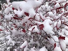 winter bush.jpg