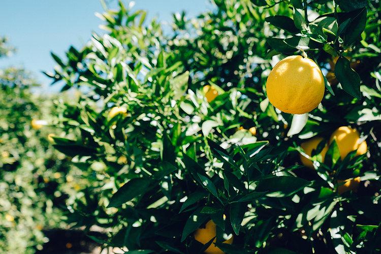 lemons-on-tree-6478.jpg