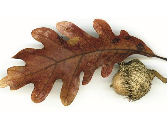 acorn logo jpeg_edited.jpg