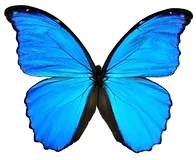 blue-morpho-butterfly-animals-twist-2_ed