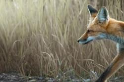 Focused Fox Larger crop (1 of 1)