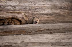 Yawning Fox Re_edit (1 of 1)