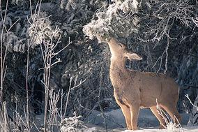 Christmas Deer (1 of 1).jpg