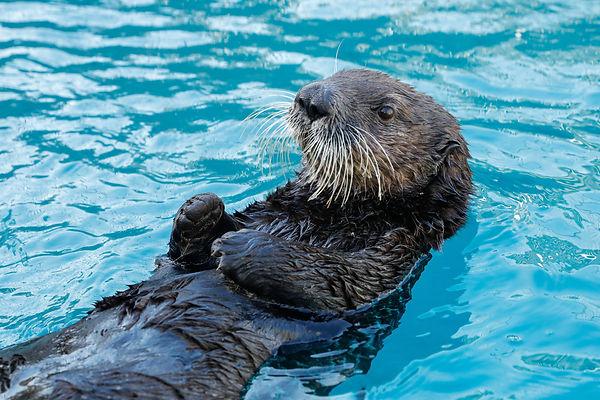 Sea Otters4.jpg