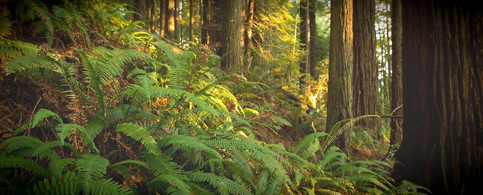 Jacoby Creek watershed, redwood forest