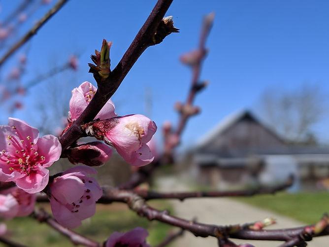 appleblossomkokte.jpg