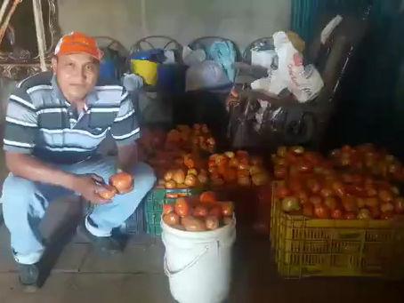 Tomato Kiara F1 - Customer Review Nicaragua