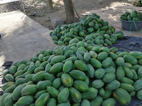 Papaya (LECHOSA) SUNSHINE F1
