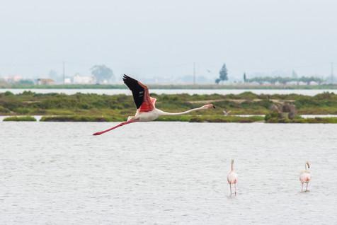 Flamingos and rice fields in Spain, Delta de l'Ebre Natural Park