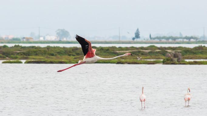 Flamingo Spain